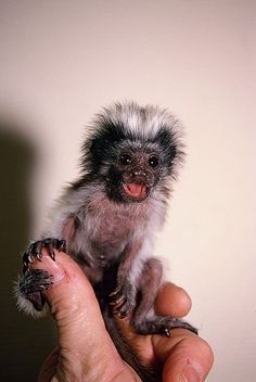 Cotton-top Tamarin Found on 50 Freaks of Nature Funny Animal Images, Animals Images, Animal Pictures, Cute Baby Monkey, Pet Monkey, Tiny Monkey, Happy Animals, Cute Animals, Marmoset Monkey
