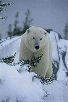 A Polar Bear In A Snowy, Twilit by Norbert Rosing