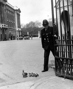 Mother duck and ducklings walking out of the gates of Buckingham Palace after walking on to the grounds from St. James Park c1964