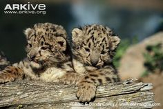 leopard cubs