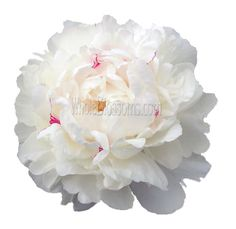 Buy Sunflower Wedding Centerpieces for Sale Where To Buy Flowers, Flowers For Sale, Flowers Online, Peony Flower Arrangements, Ranunculus Flowers, Buy Peonies, White Peonies, Paper Peonies, Peonies Delivery