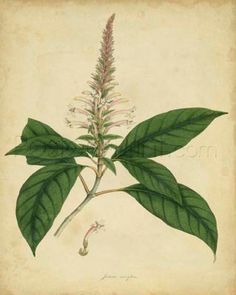 Engelmann Botanical II Giclee Print Poster by Engelmann Online On Sale at Wall Art Store – Posters-Print.com