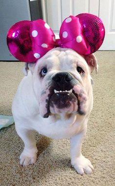English Bulldog Shirt Order here: https://www.sunfrog.com/JohnyD/bulldog socute