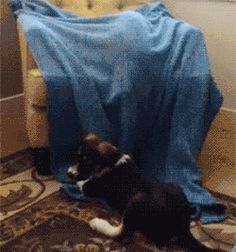 Share this Cat ambushes a dog with blanket Animated GIF with everyone. Gif4Share is best source of Funny GIFs, Cats GIFs, Reactions GIFs to Share on social networks and chat.