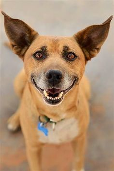 Second Chances: Tuesday's Tails: Adopt Cowboy!  Just look at these ears!!!!