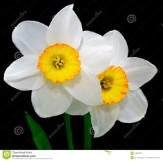 Image from http://thumbs.dreamstime.com/z/narcissus-2481228.jpg.