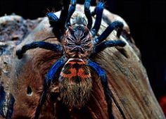 Chromatopelma cyaneopubescens 3.5-inch juvie (_papilio) Tags: macro spider nikon…