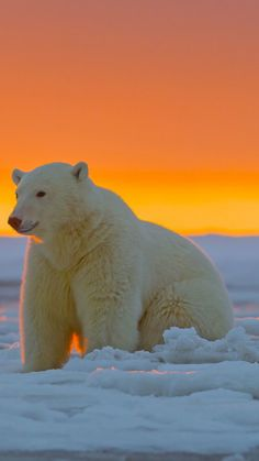 polar bear, alaska, snow