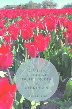 De tulpenvelden in de Bollenstreek ken je. De Keukenhof in Lisse ongetwijfeld ook. Maar wist je dat je in de provincie Groningen ook verschillende bollenvelden kunt vinden? Verspreid door de provincie vind je tal van velden vol kleurige bloemen. Vandaag deel ik de mooiste tulpenvelden in Groningen met je. #bollenvelden #tulips #tulpen Netherlands, Blog, The Nederlands, The Netherlands, Blogging, Holland