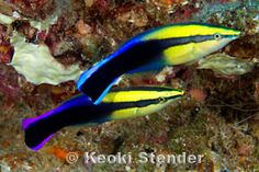 Hawaiian Cleaner Wrasse, Labroides phthirophagus