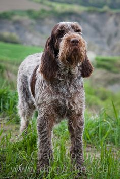 Spinone Italiano ~ Classic Look https://www.pinterest.com/search/pins/?q=spinone%20italiano&rs=typed&term_meta[]=spinone%7Ctyped&term_meta[]=italiano%7Ctyped