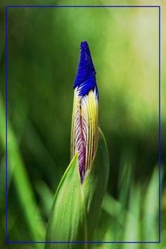 #elfoton14 #categoría #Flora En el Concurso de Fotografía Elfoton.es tenemos 9 categorías para que todo el mundo encuentre la suya. Participa hasta 15 de agosto en http://elfoton.com  Usuario: Comanegra (Catalunya) - Iris xiphium - Tomada en Aiguamolls de l'Empordà, Girona. el 18/05/2013