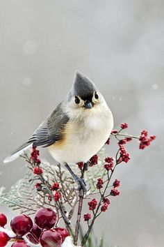 Cute Winter Bird - Tufted Titmouse by Christina Rollo © rollosphotos.com. Close-up of a cute Tufted Titmouse perched on red and green holiday decorations in a winter.