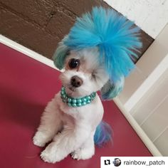 The hair looks like a giant blue pom pom! Thanks Patches! You are a little angel! Hope every pet can be treated well as a family member. Dog Dye, Creative Grooming, Dog Pounds, Dog Grooming, Hair Designs, Hair Looks, Animal Photography, Cute Animals, Patches