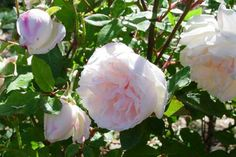 """""""Spice""""Rose is heat resistant &very fragrant(hence the name)Some believe it may be the lost Hume's Tea Scented Rose.It is classified as a Bermuda/China found rose.z 7-9."""