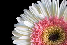 The capitulum, or flower head, of a Gerbera daisy is actually composed of hundreds of individualflowers.