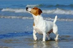 jack russell terrier. so proud and full of their little selves.