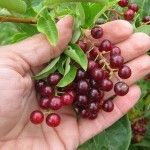 How to use chokecherries. Manitoba Association of Home Economists.