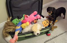 Traveling with a Dachshund – Fly with your dachshund as shown by Crusoe