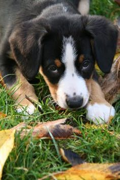 The Quinn-tessentials: ENTLEBUCHER MOUNTAIN DOG (sennenhund)