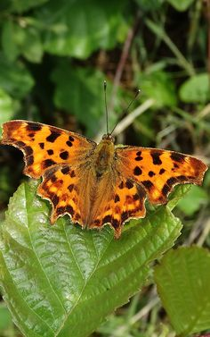Comma butterfly (Polygonia c-album) Gehakkelde Aurelia (Photo by Jerdek©) Finland, Animals And Pets, Moth, Beautiful Things, Butterfly, Nature, Inspiration, Beauty, Butterfly Wings
