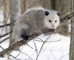 Possums Can Kill Thousands Of Ticks