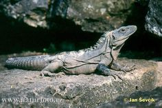 Lizards Images Pictures, List of Lizards - Nature Images - NaturePhoto Lizard Dragon, Komodo Dragon, Reptiles And Amphibians, Mammals, Lizard Image, Chinese Water Dragon, Chameleon Lizard, Lizards, Chameleons