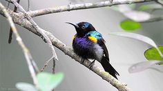 becausebirds:  The beautifulHandsome Copper-throated Sunbird! It even has handsome in its name.