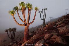 Endangered Giant tree aloes, Aloe pillansii, Richtersveld National Park, South Africa