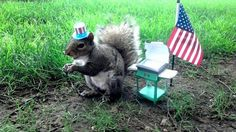 This Cute Squirrel Stole the Hearts of Many, The 4th of July calls for a good grill.