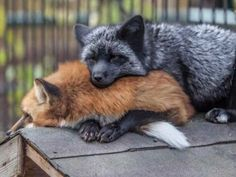These beautiful animals are killed for fur