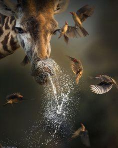 Giraffe sneezes sending birds fluttering in Kenya   Daily Mail Online