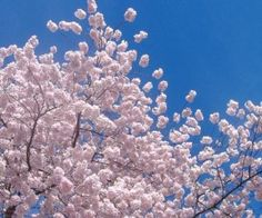 Cherry Blossom Festival in Essex County's Branch Brook Park