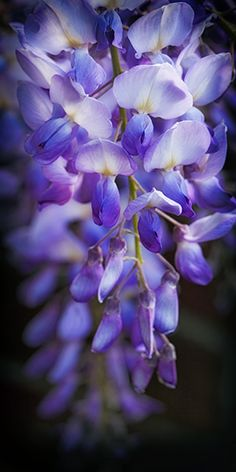 Wisteria sinensis. My grandmother always had these.....always reminds me of her.