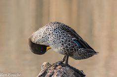 Yellow-billed Duck, Geelbekeend, (Anas undulata) http://birdwatcher.co.za/yellow-billed-duck-geelbekeend-anas-undulata-12/ #BirdwatcherSA #birdingsouthafrica #birdingphoto #birdingphotos #birdssouthafrica #birdsofsouthafrica