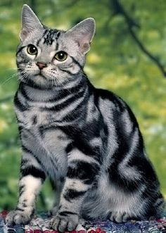 American Shorthair - Ideal American Shorthairs exude symmetry, with the breed standard calling for them to be slightly longer than tall. Females tend to be smaller than males. The American Shorthair's face should be full-cheeked with an open expression.