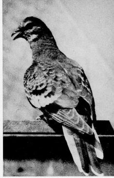"""Passenger Pigeon, extinct in 1914 because we killed them all off.  Before that, these pigeons were more common than any bird we see today: """"The air was literally filled with Pigeons; the light of noon-day was obscured as by an eclipse; the dung fell in spots, not unlike melting flakes of snow; and the continued buzz of wings had a tendency to lull my senses to repose."""""""
