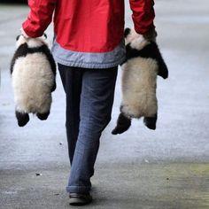 2 baby pandas for a walk
