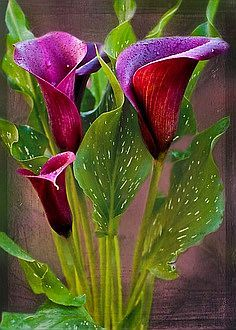 Calla #Lillies