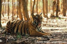 Bengal tigress at rest