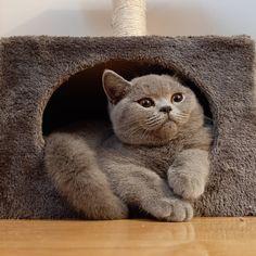 British Shorthair, Cats, Animals, Animales, Gatos, Animaux, Animal, Cat, Animais