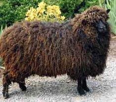 Leicester Longwool is a sheep breed with a long and interesting history. they are also called Leicester, Bakewell Leicester, Dishley Leicester, Improved Leicester, Leicester Longwool, and New Leicester. They were originally developed by 18th-century breeding innovator Robert Bakewell.
