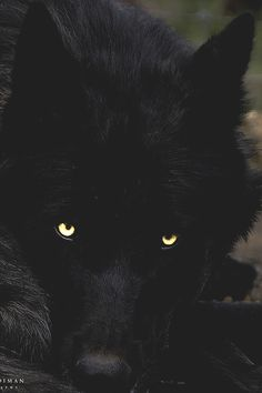 "young-preacher: "" Black Timber Wolf by Brad Kooiman "" Beautiful Wolves, Animals Beautiful, Animal Espiritual, Animals And Pets, Cute Animals, Wild Animals, Baby Animals, Wolf Hybrid, Wolf Eyes"