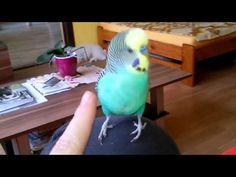 Parakeet, Parrot, Bird, Parrot Bird, Parakeets, Parrots, Birds