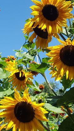 This is summer Giant Sunflower, Sunflower Garden, Sunflower Art, Sunflower Fields, Yellow Sunflower, Growing Sunflowers, Sunflowers And Daisies, Sun Flowers, Love Flowers