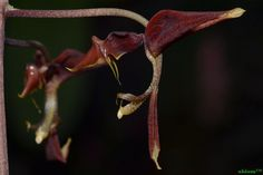 Gongora claviodora | Orchids Online