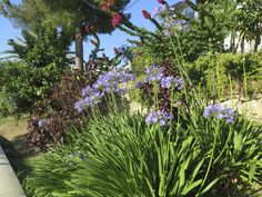 Although you may be tempted to dedicate a flower bed to agapanthus, remember that agapanthus companion plants can complement these beauties. Click this article for information about plants that grow well with agapanthus.