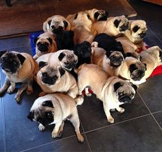 These pugs are ALREADY lining up #PugChat at 7 pm EDT! Are you coming? (Photo by @bubblebeccapugs)