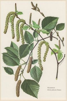 1960 Vintage Botanical Print Betula pubescens Downy by Craftissimo