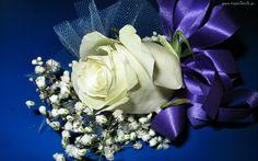 Biała, Róża, Niebieska, Wstążka